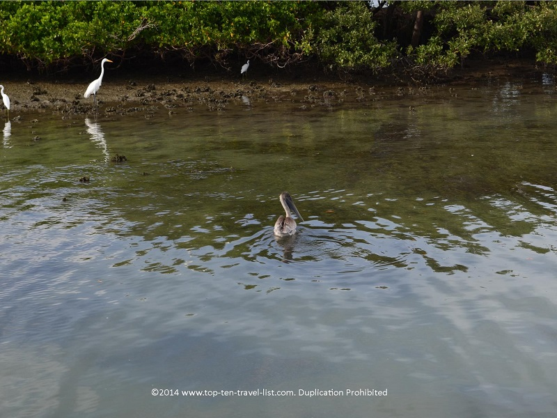 Pelican and snowy egrets - DogLeg Key Bird Sanctuary - Florida