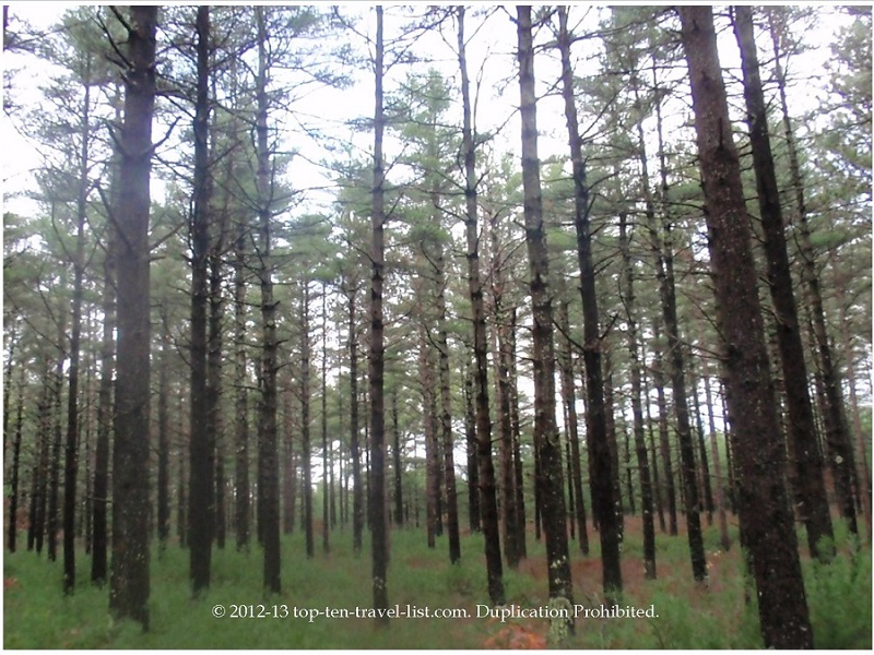 Beautiful pine trees at Massachusetts' Myles Standish State Forest