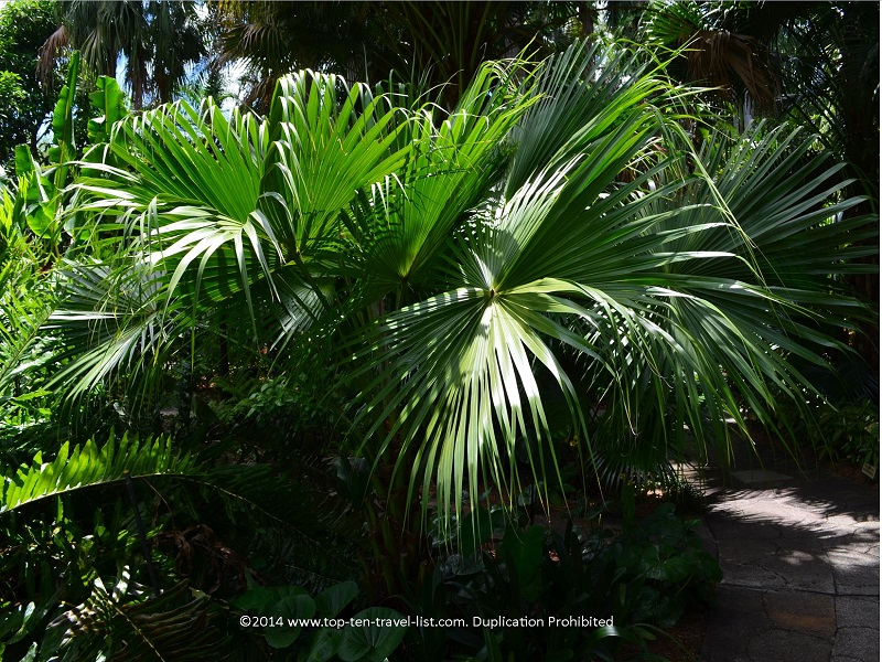 Palms at Sunken Gardens in St. Petersburg, Florida