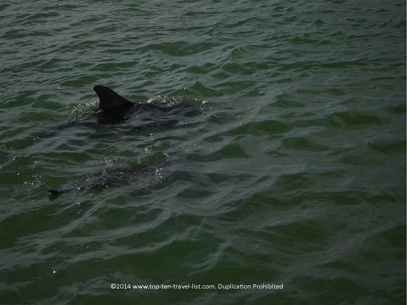 Up close view of a dolphin's fin - Madeira Beach, Florida
