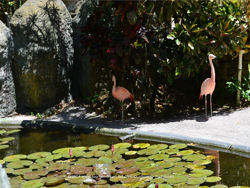 Flamingos at Sunken Gardens in St. Petersburg, Florida