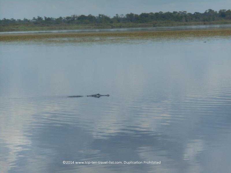 Alligator swimming at Myakka River State Park - Sarasota, Florida