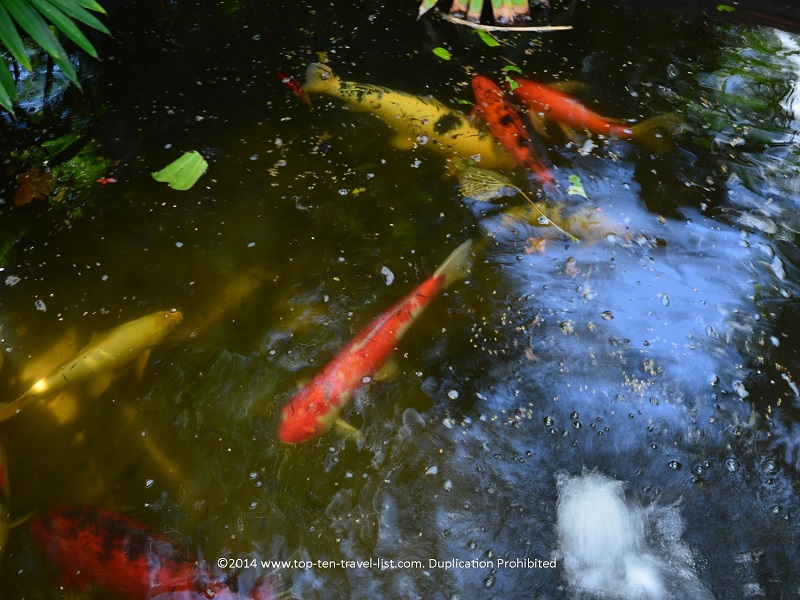 Huge goldfish in the Koi pond at Sunken Gardens St. Petersburg, Florida