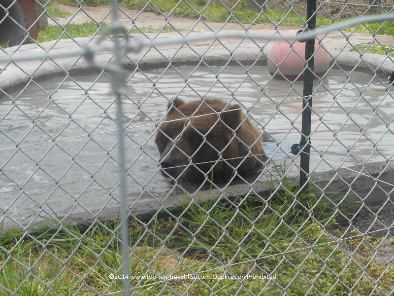 Kodiak Brown Bear at Big Cat Habitat in Sarasota, Florida