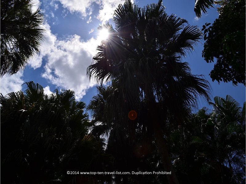 Sun peeking through the palm trees at Sunken Gardens in St. Petersburg, Florida