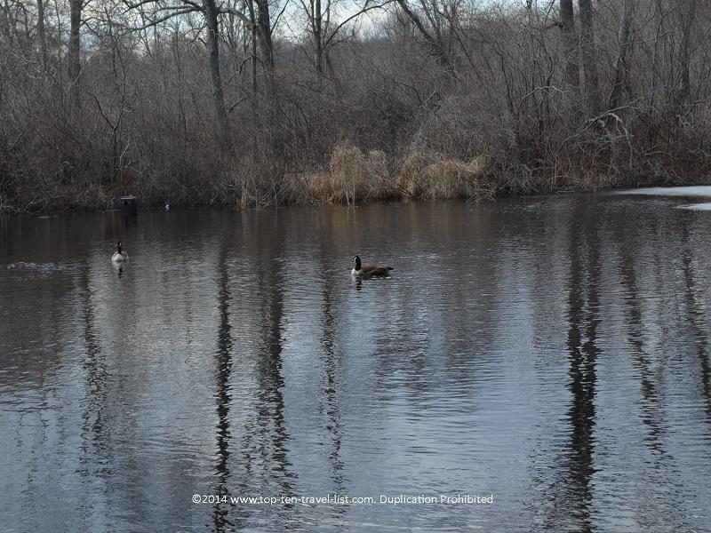 Swan at Gertrude M. Boyden Wildlife Refuge - Massachusetts