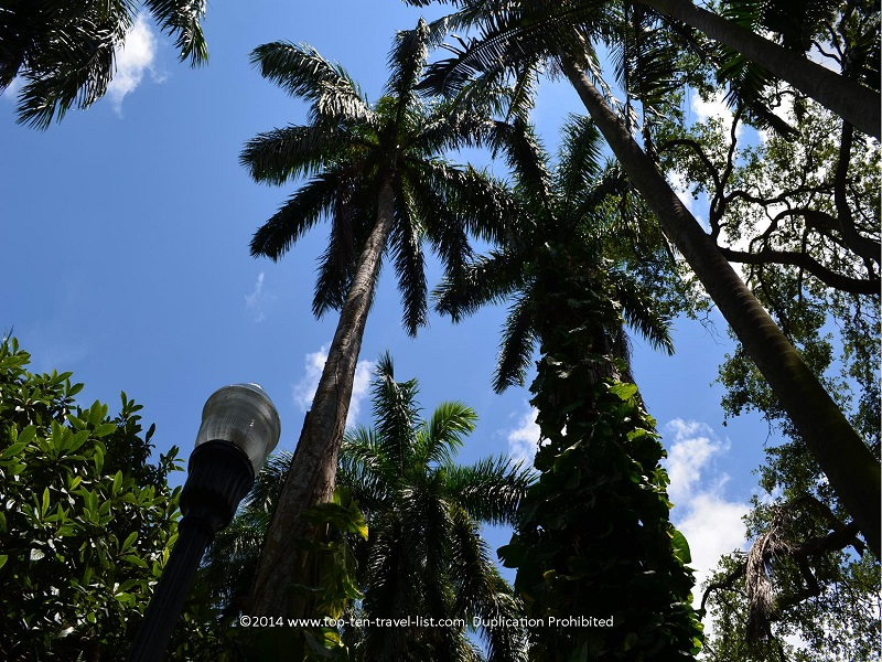 Tall palm trees at Sunken Gardens in St. Petersburg, Florida
