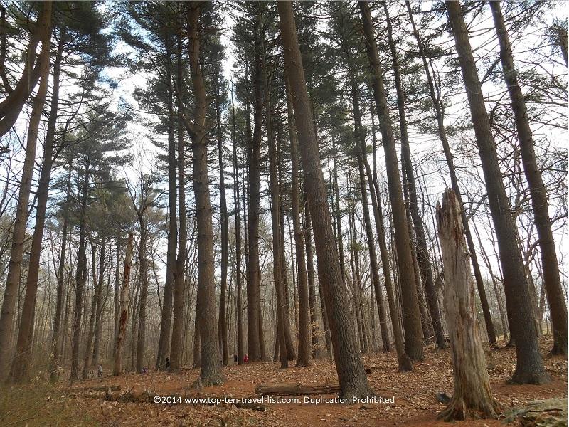 Tall trees at Caratunk Wildlife Refuge - Seekonk, Massachusetts