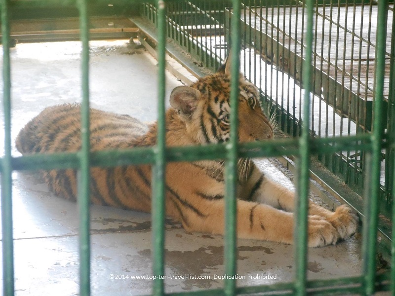 Tiger relaxing outside at Big Cat Habitat in Sarasota, Florida