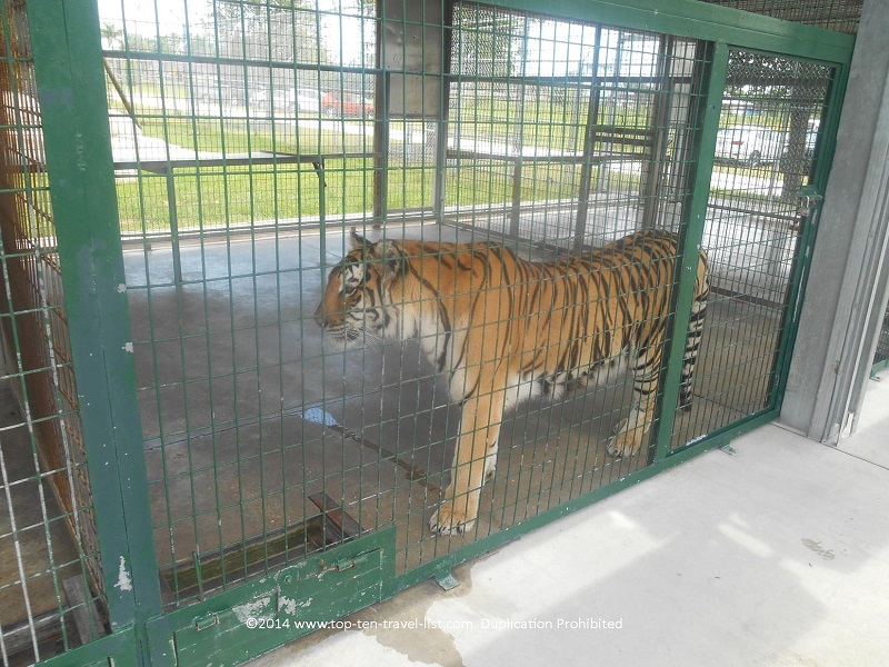 Tiger outside at the Big Cat Habitat in Sarasota, Florida