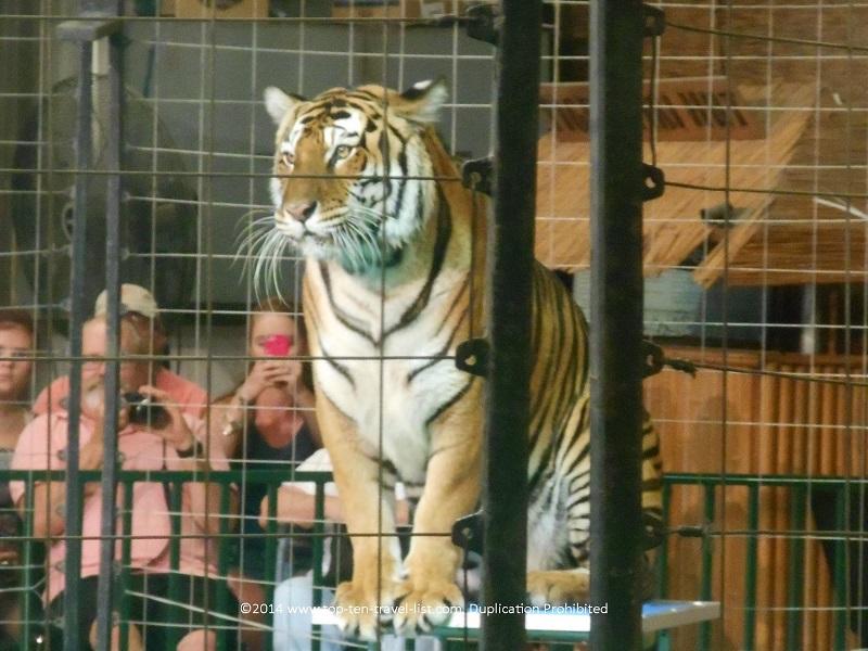 Tiger at Big Cat Habitat in Sarasota, Florida