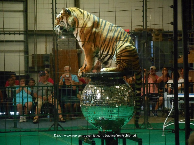 Bengal tiger on mirror ball - Big Cat Habiat in Sarasota, Florida