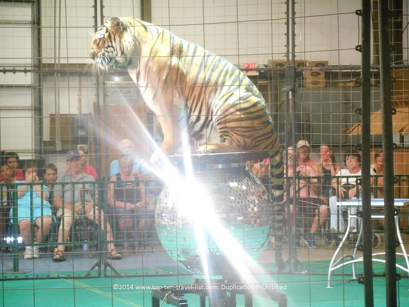 Bengal Tiger on mirror ball at Big Cat Habitat in Sarasota, Florida