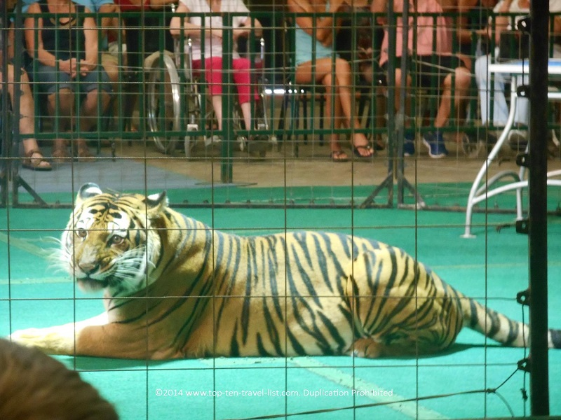 Bengal tiger relaxing after Animal Encounter show at Big Cat Habitat in Sarasota, Florida