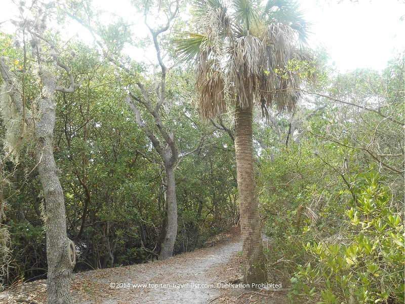 Palm tree on the trail at Weedon Island Preserve - St. Petersburg, Florida