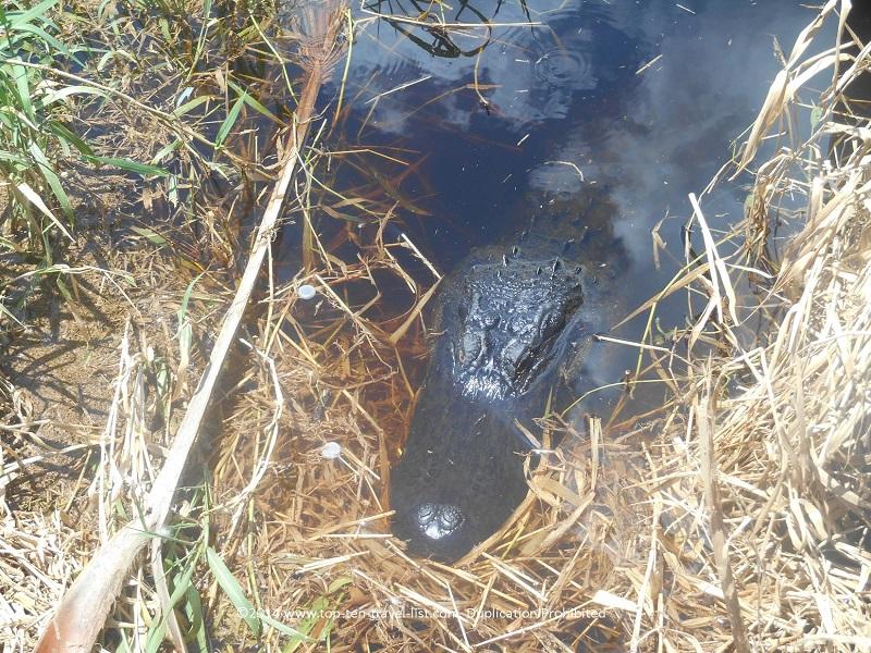 Up close to an alligator - Myakka River State Park in Sarasota, Florida