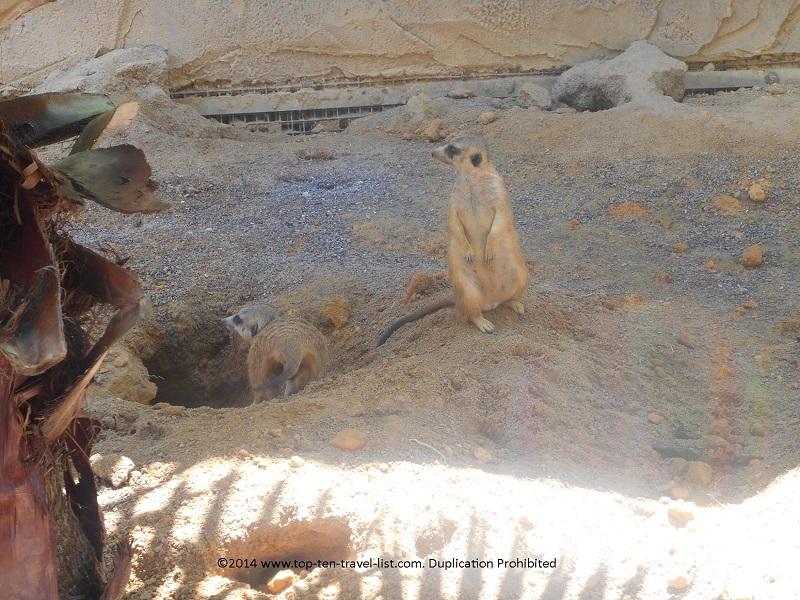 2 meerkats at Tampa's Lowry Park Zoo