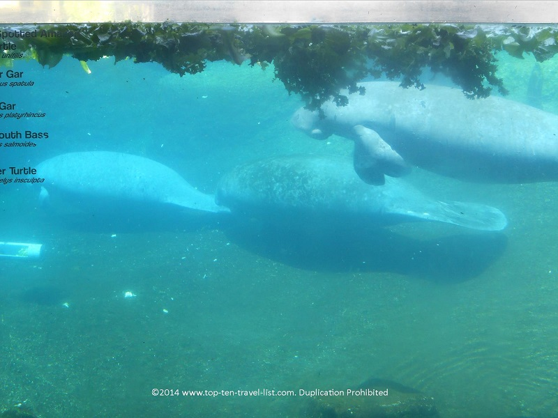 Group of manatees swimming at Tampa's Lowry Park Zoo