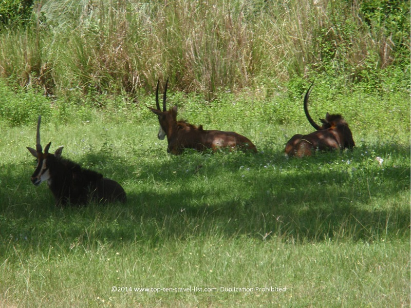 Antelope relaxing at Disney's Animal Kingdom