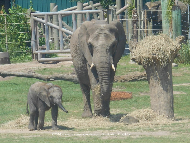 Elephant with baby elephant at Lowry Park Zoo - Tampa, Florida
