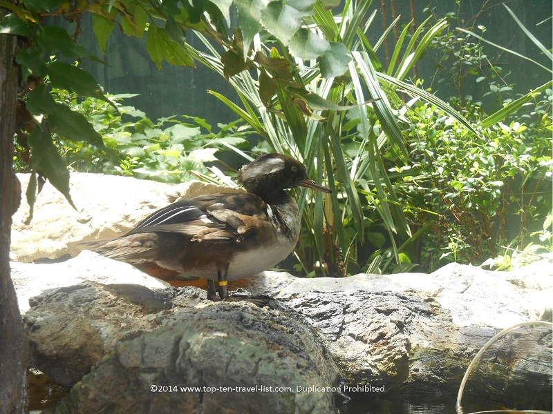 Duck relaxing on Florida Aquarium's Wetlands Trail - Tampa, Florida