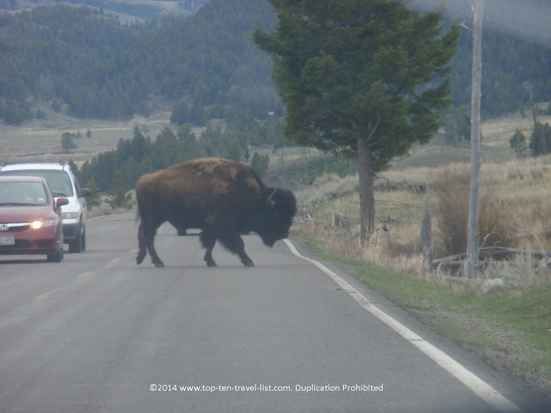 Bison crossing the road at Yellowstone National Park