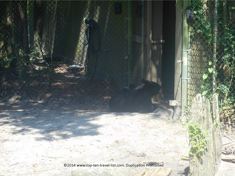 Florida black bear at Tampa's Lowry Park Zoo