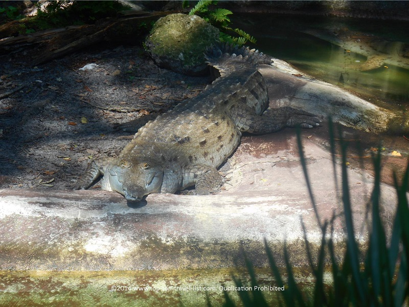 Crockodile at Tampa's Lowry Park Zoo