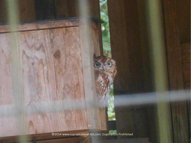 Eastern Screech Owl at Boyd Hill Nature Preserve in St. Petersburg, Florida
