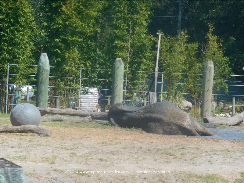 Elephant rolling on his back - Tampa's Lowry Park Zoo