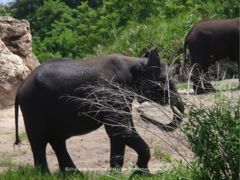 Close up of an elephant seen on Disney's Animal Kingdom safari ride