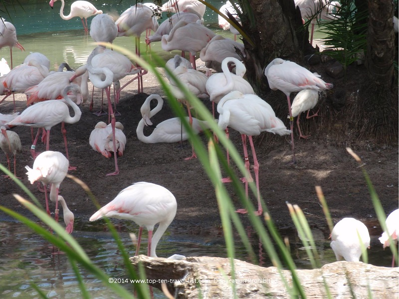 Flamingos seen on the safari ride at Disney's Animal Kingdom