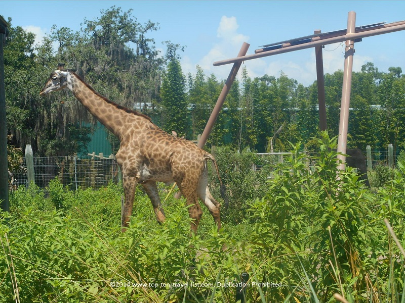 Giraffe at Tampa's Lowry Park Zoo