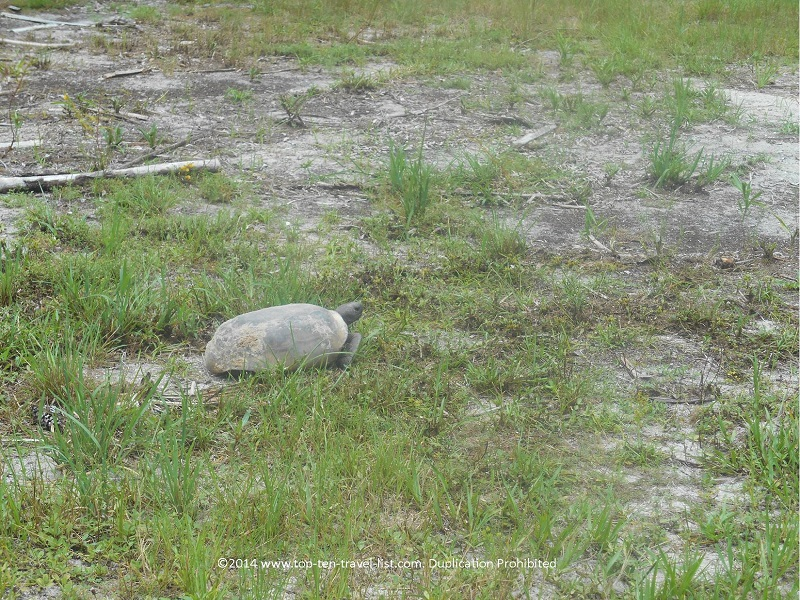 Gopher Tortoise walkng about at Boyd Hill Nature Preserve in St. Petersburg, Florida