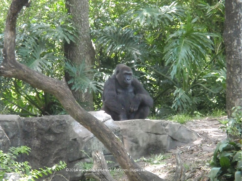 Gorilla at Disney's Animal Kingdom