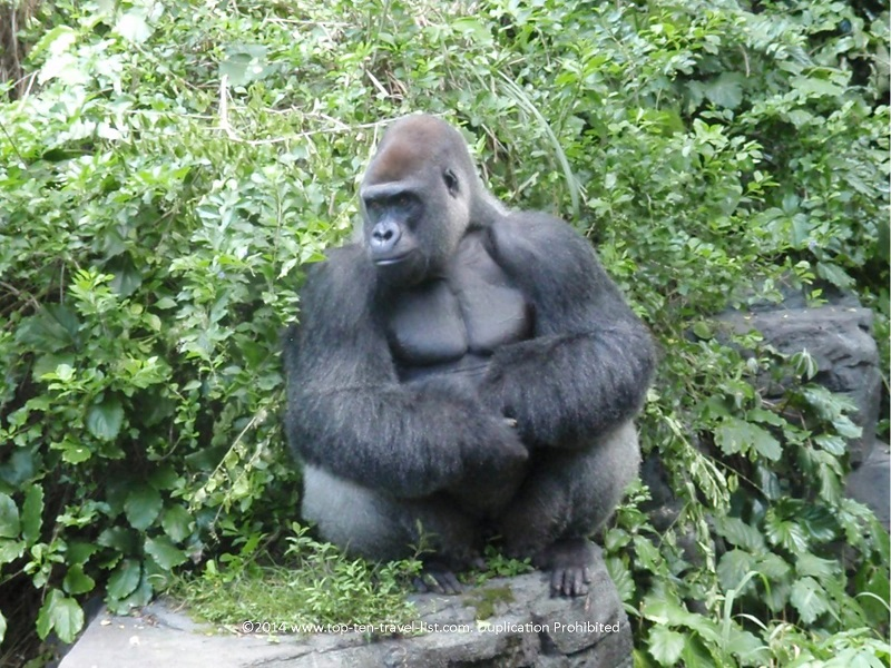Up close view of a gorilla at Disney's Animal Kingdom