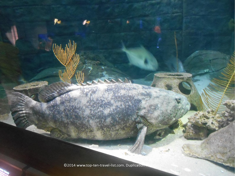 Grouper Goliath at The Florida Aquarium - Tampa, Florida