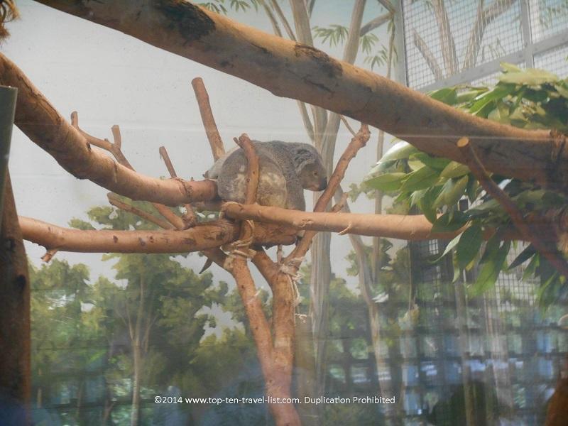 Koala bear at Tampa's Lowry Park Zoo