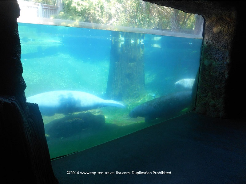 Manatees at Tampa's Lowry Park Zoo