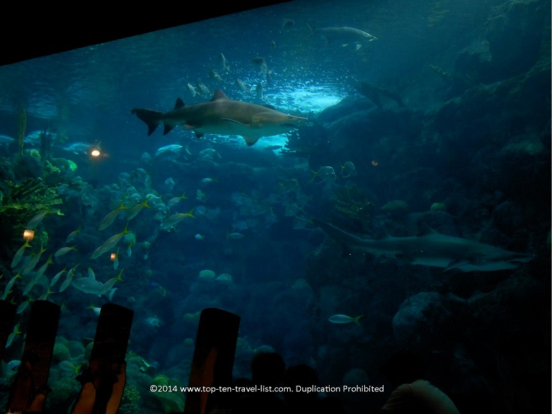 Sand tiger sharks at The Florida Aquarium - Tampa, Florida