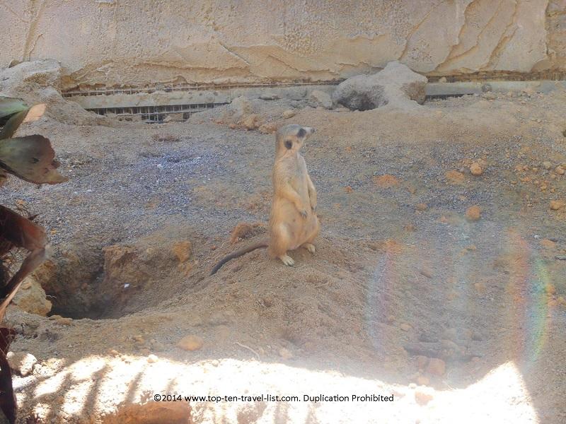 Meerkat at Tampa's Lowry Park Zoo