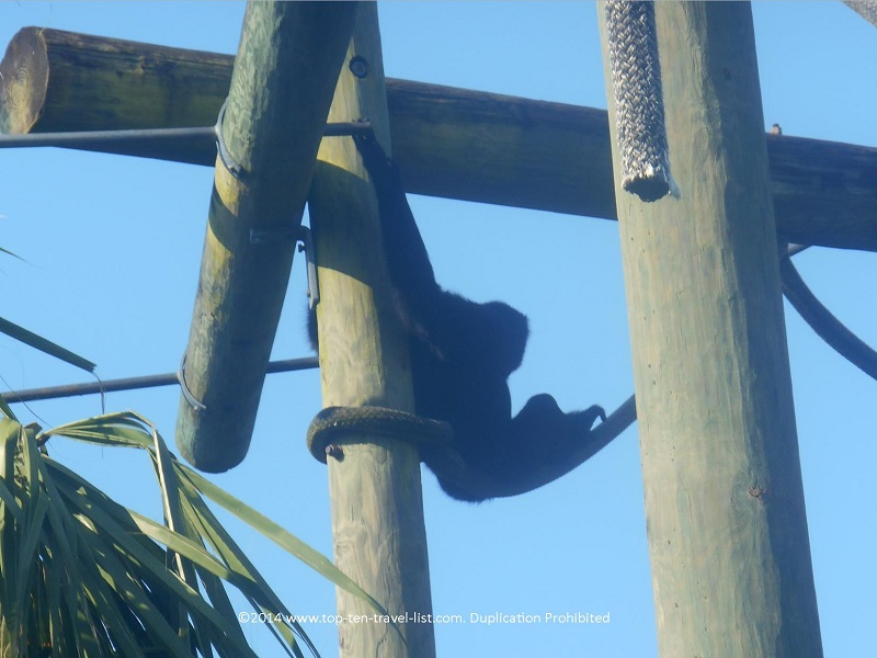 Monkey climbing at Tampa's Lowry Park Zoo