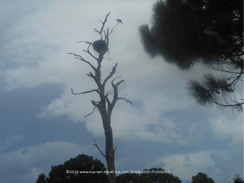 Up close view of an Osprey nest at Boyd Hill Nature Preserve in St.Petersburg, Florida