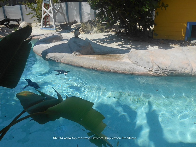 Penguins swimming at Tampa's Lowry Park Zoo