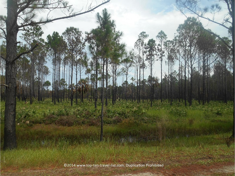 Pine flatwoods at Tampa's Flatwoods Park
