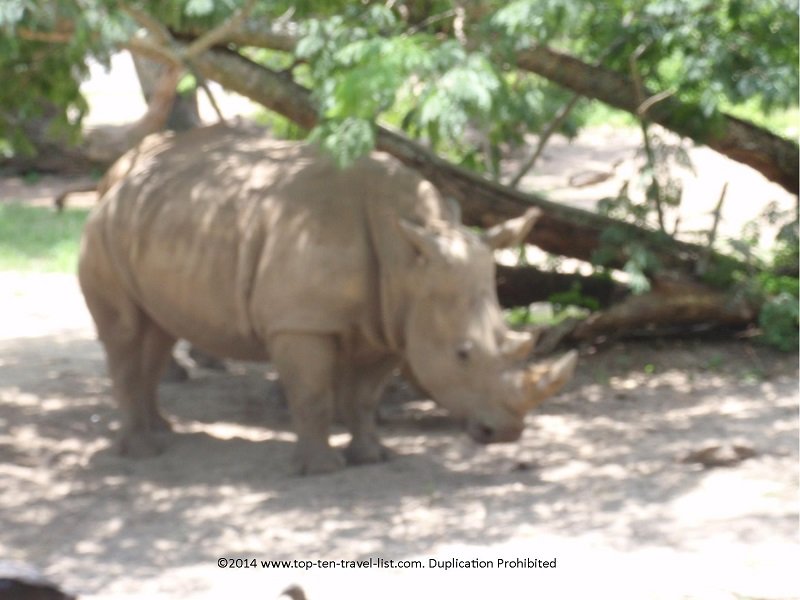 Close up of a rhino on the safari ride at Disney's Animal Kingdom