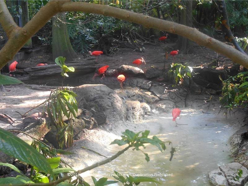 Scarlet Ibis at Tampa's Lowry Park Zoo
