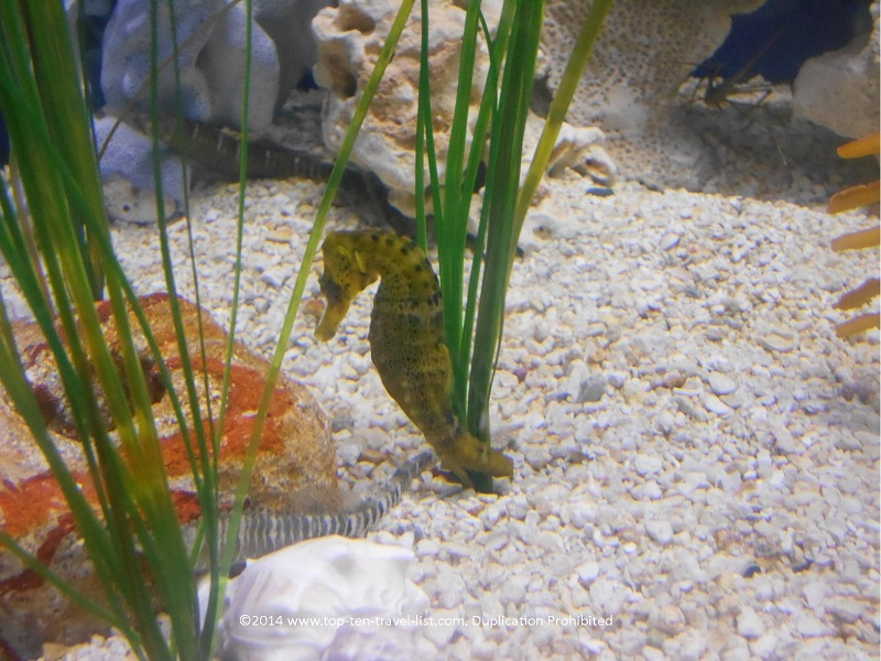A beautiful seahorse at The Florida Aquarium - Tampa, Florida