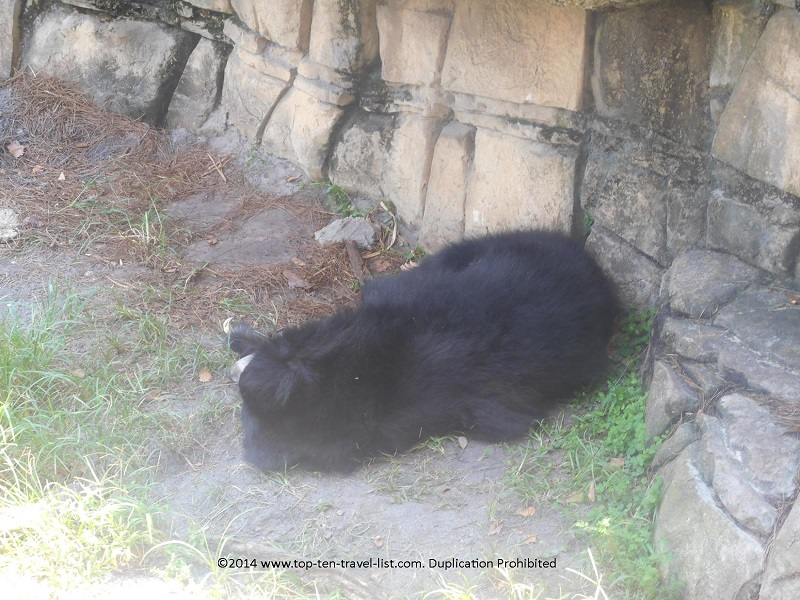 Sloth Bear sleeping at Tampa's Lowry Park Zoo