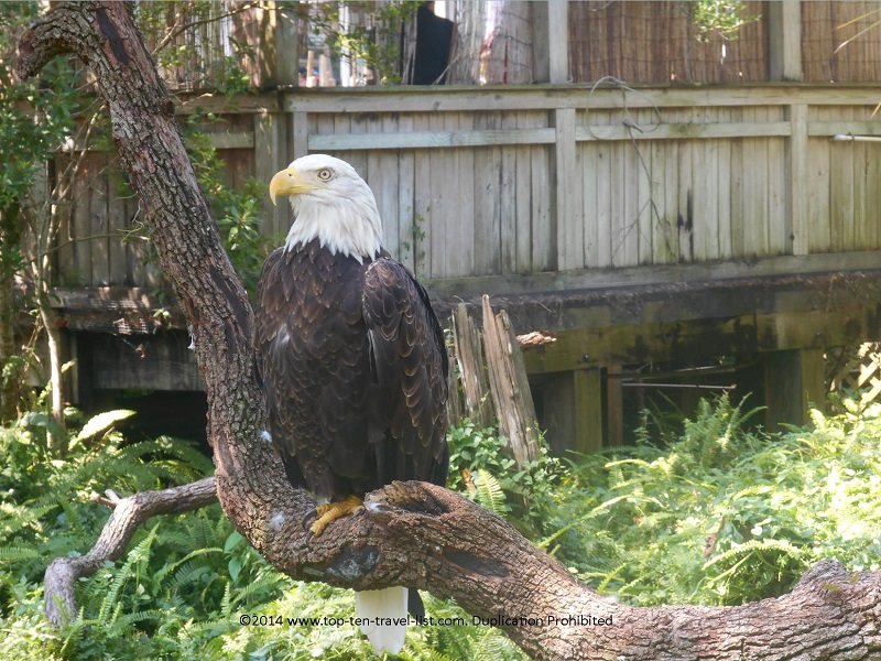 Bald Eagle at Tampa's Lowry Park Zoo